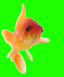 Nemo the Goldfish