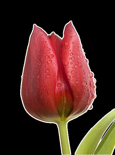 бисероплетение схемы цветы тюльпаны.